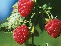 预防肝癌可多吃树莓