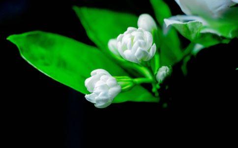 内分泌 女性内分泌 调节女性内分泌 茉莉花 中医疗法 茉莉花的功效