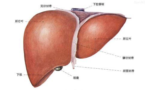 乙肝 乙肝病毒 抗乙肝病毒 乙肝病毒携带者 肝炎 慢肝