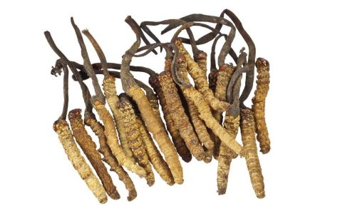 冬虫夏草是吃什么 冬虫夏草的作用 冬虫夏草的作用