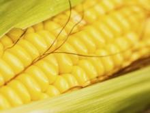 来例假能吃玉米吗?