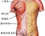 人体全身肌肉组织解剖图