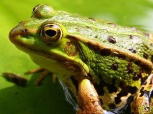 青蛙的功效与作用