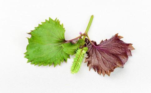 紫苏的功效与作用 紫苏图片 紫苏叶的功效是什么