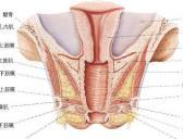 人体尿生殖膈结构示意图