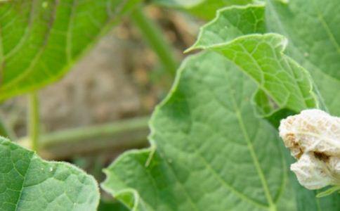 瓜蒌皮 瓜蒌皮的功效 瓜蒌皮的作用