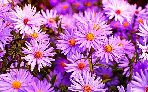 紫菀的功效与作用 抗癌中药紫菀 紫菀的作用