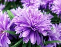 清热解毒类抗癌中药紫菀