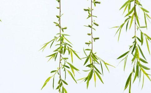 旱柳叶 旱柳叶的功效 旱柳叶的作用