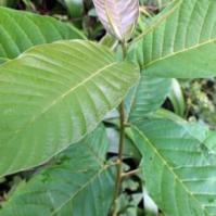 抗癌中药喜树的功效与作用