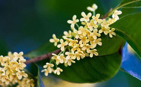 蚕豆香料的功效和功能