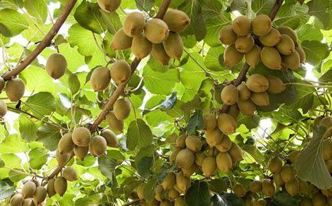 美味猕猴桃茎叶的作用和功能