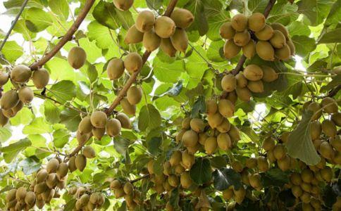 美味猕猴桃的作用和功能