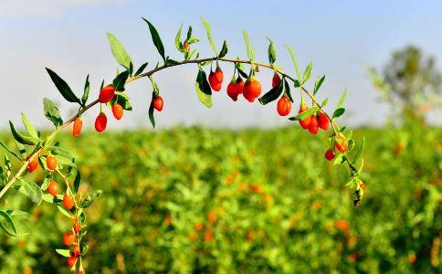 红葵 - 第1张  | 中草药图片大全-中药的功效与作用