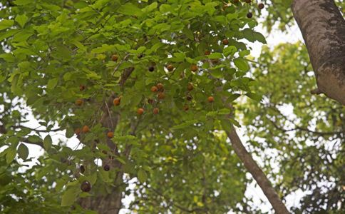 抗癌中草药木鳖子 木鳖子的功效与作用 木鳖子能治疗哪些癌症