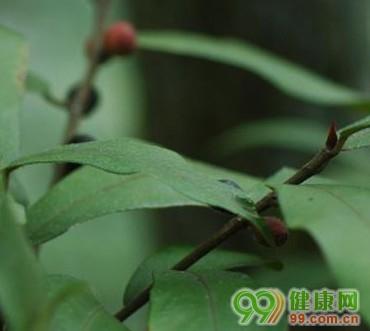 榕树丛毛榕根的作用和功能