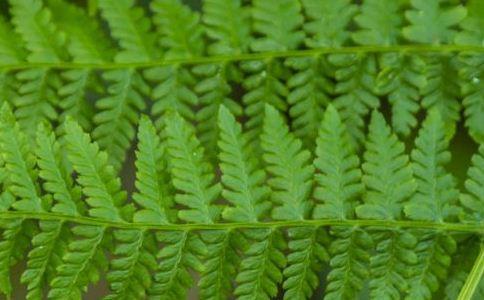 单蕨篮子的功效和功能