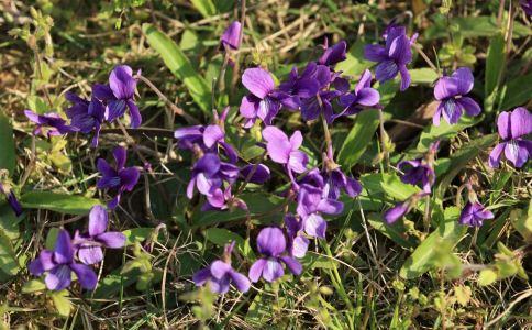 紫花地丁的功效和功能