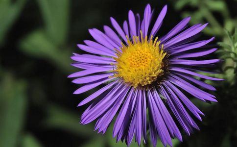 紫菀的作用和功能