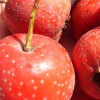 秋季抗癌水果——山楂