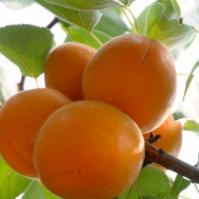秋季抗癌水果——杏