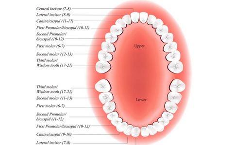 口腔内牙齿结构图片