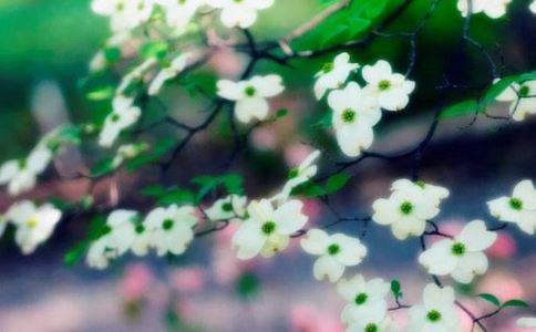 韩国山茱萸树枝的功能