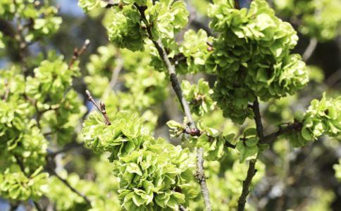 榆树的作用和功能
