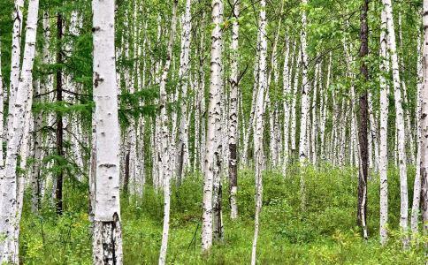 桦树皮的功能和作用