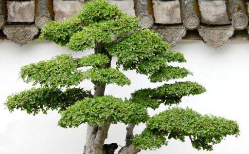 榕树皮 榕树皮的功效 榕树皮的作用