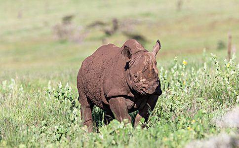 犀牛皮 犀牛皮的功效 犀牛皮的作用
