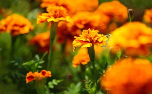 万寿菊叶 万寿菊叶的功效 万寿菊叶的作用