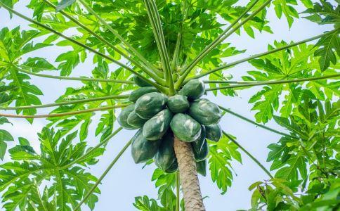 番木瓜叶 番木瓜叶的功效 番木瓜叶的作用