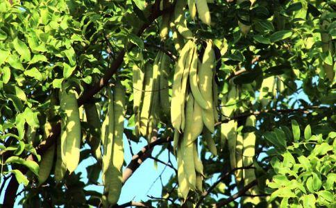 皂荚子 皂荚子的功效 皂荚子的作用