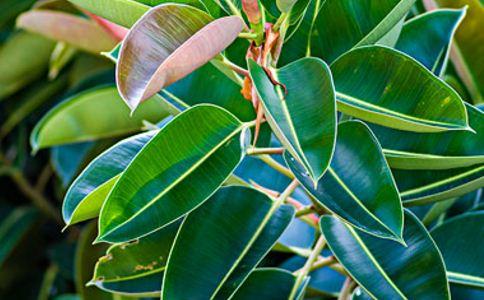 榕树叶 榕树叶的功效 榕树叶的作用