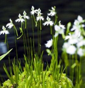 白花草的功效与作用