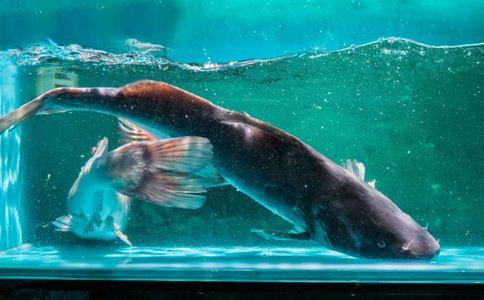 鮠鱼 鮠鱼的功效 鮠鱼的作用