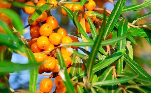 枣叶 枣叶的功效 枣叶的作用