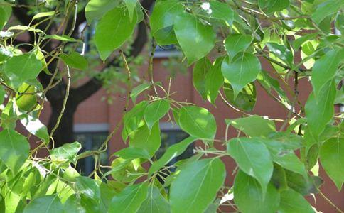 樟树叶 樟树叶的功效 樟树叶的作用