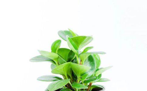 矮茎冷水花 矮茎冷水花的功效 矮茎冷水花的作用
