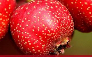 山楂的不同吃法有不同的功效_水果_饮食_99健康网