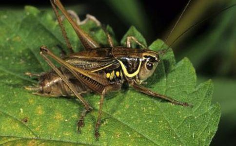 蟋蟀 蟋蟀的功效 蟋蟀的作用
