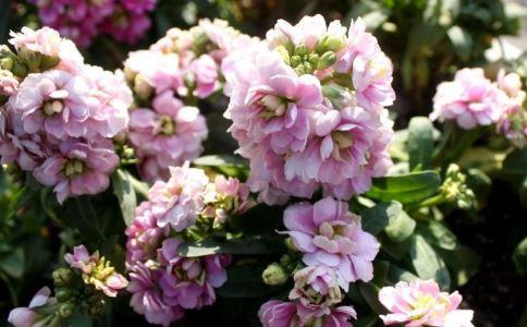八仙花 八仙花的功效 八仙花的作用