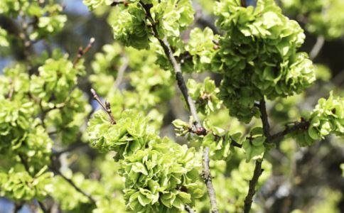 矮脚枫叶的功效 矮脚枫叶的功作用 矮脚枫叶的功效与作用