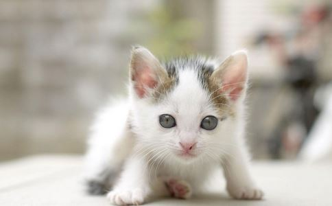 养猫要注意什么 小猫有哪些饮食误区 给猫吃什么东西好