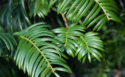 抗癌中草药有哪些 红豆杉的要用功效 红豆杉能抗癌吗