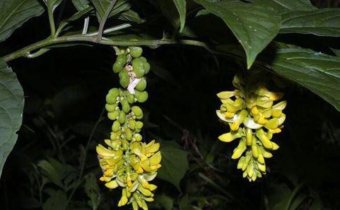 黄花倒水莲的作用和功能
