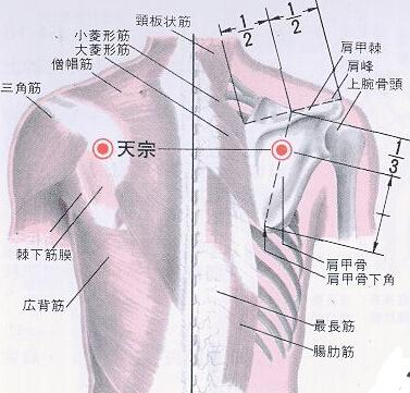 天宗穴位的准确位置图 天宗穴位图 天宗穴的准确位置图