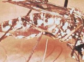 了解花斑蚊与登革热
