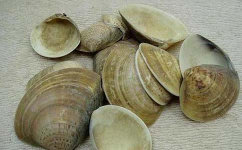 海蛤壳的功效 海蛤壳的作用 海蛤壳